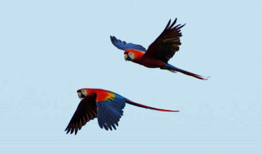 two flying parrots